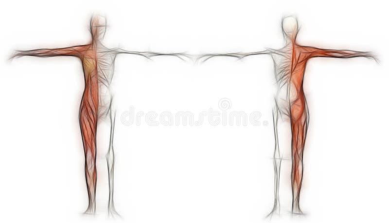 Menselijk lichaam van een wijfje met spieren en skelet vector illustratie