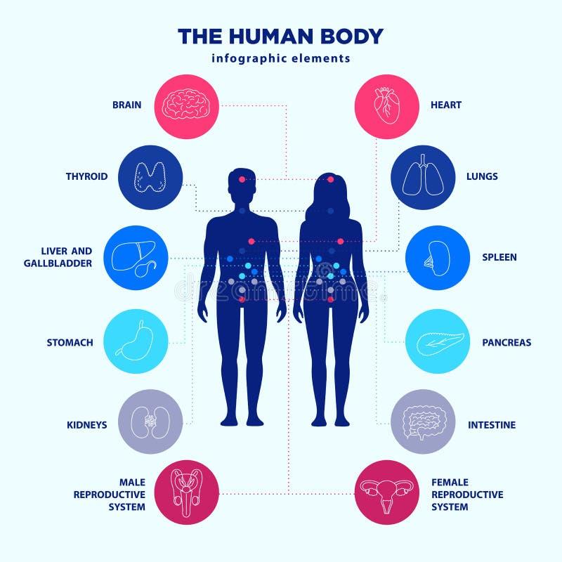 Menselijk lichaams infographic elementen, mannelijke en vrouwelijke silhouetten en interne het pictogramreeks van de organenlijn, royalty-vrije illustratie