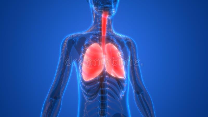 Menselijk Lichaamsorganen (Longen met zenuwstelselanatomie) stock illustratie