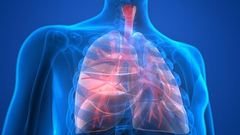 Menselijk Lichaamsorganen (Longenanatomie) vector illustratie