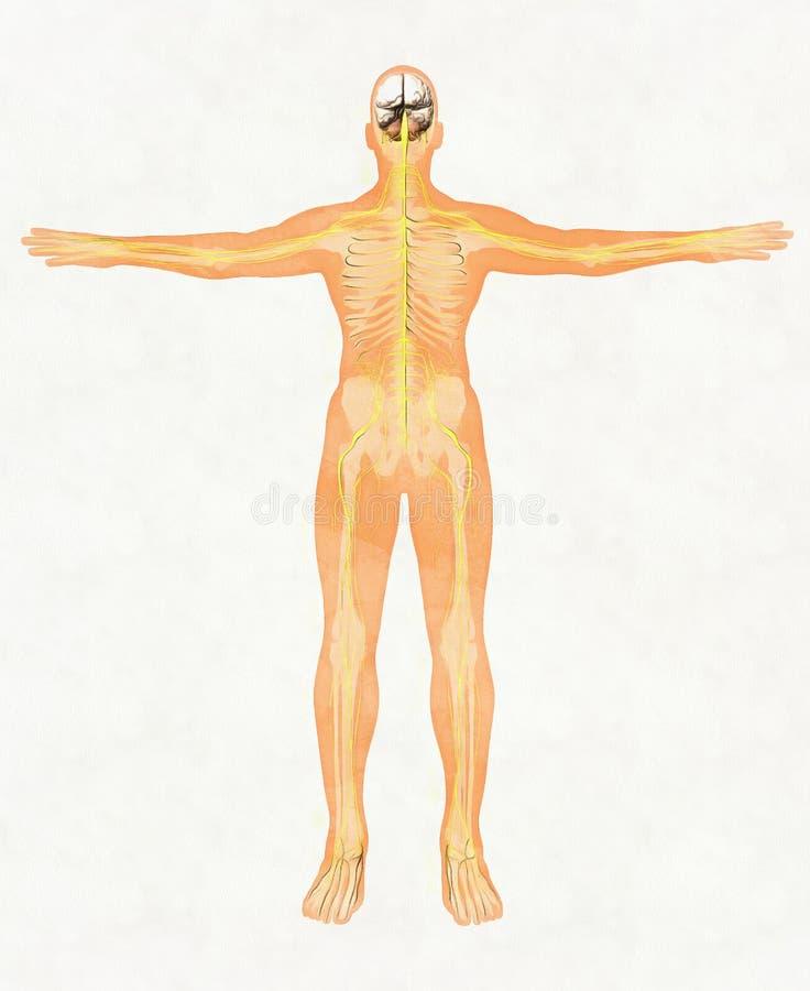 Menselijk lichaamssilhouet en zenuwstelsel royalty-vrije stock afbeelding