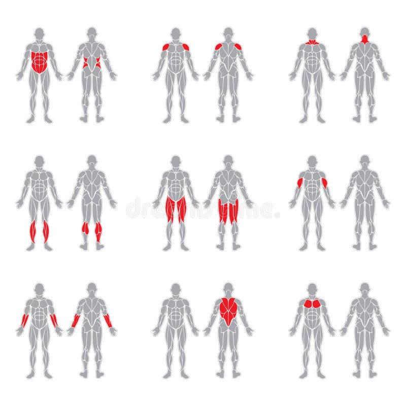 Menselijk lichaamsspieren stock illustratie