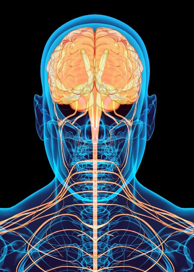 Menselijk mannelijk zenuwsysteem vector illustratie