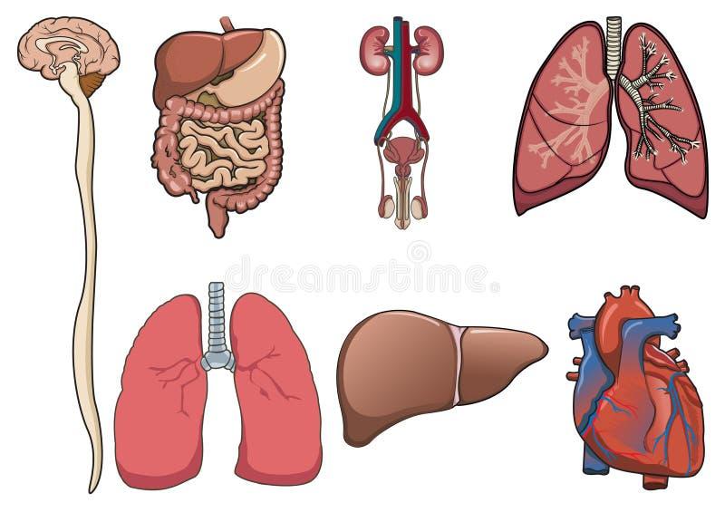 Menselijk orgaan binnen   vector illustratie