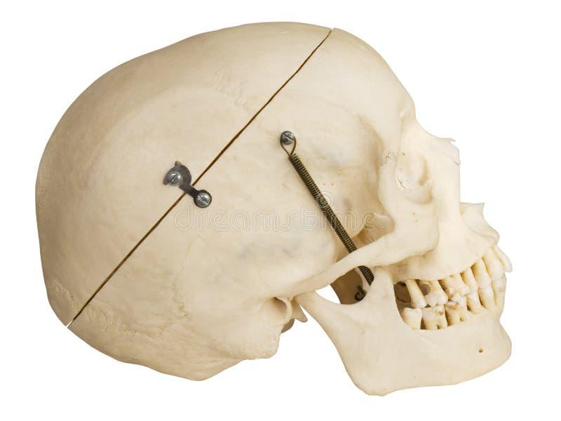 Menselijk schedel zijaanzicht met het knippen van weg stock foto