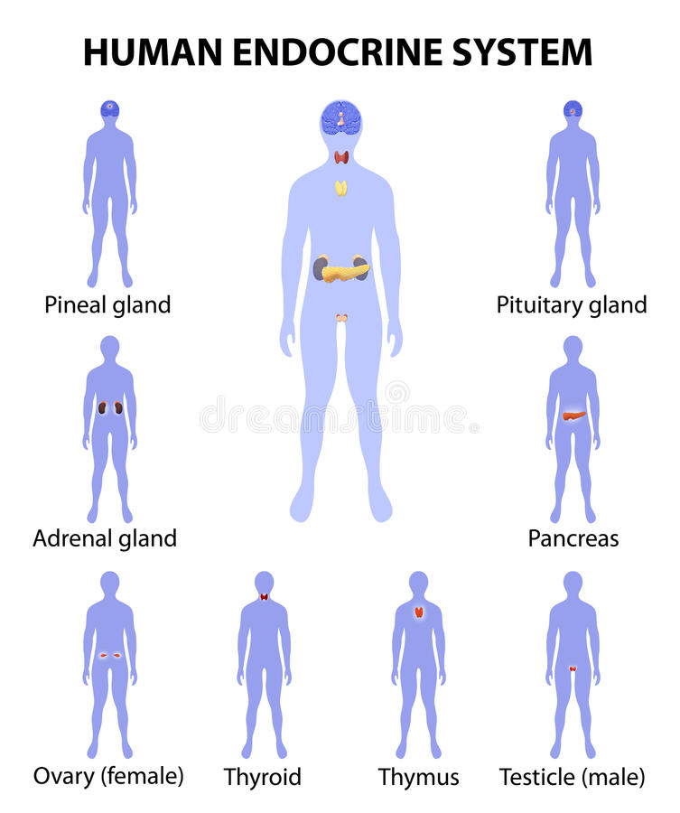 Menselijk silhouet met endocriene klieren Geplaatste pictogrammen