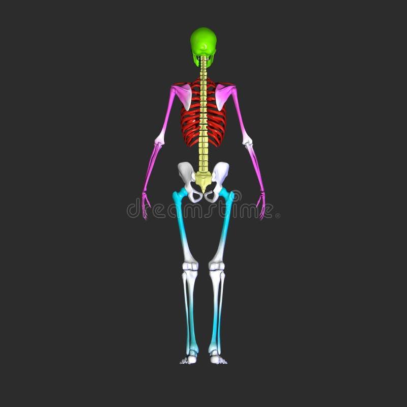 Menselijk skelet royalty-vrije illustratie
