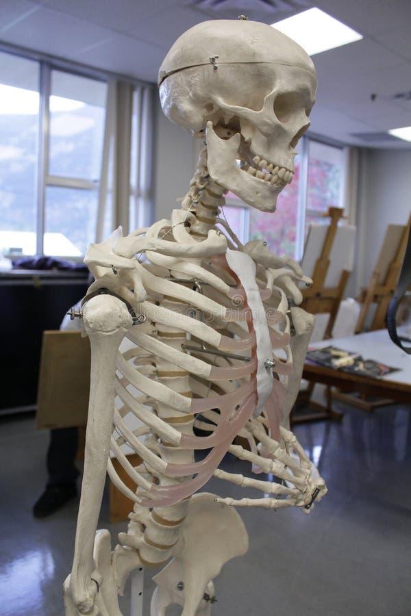 Menselijk Skelet Anatomisch Model royalty-vrije stock afbeelding