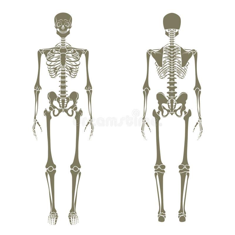 Menselijk skelet Didactische raad van anatomie van menselijk knokig systeem Het menselijke skeletachtige systeem, de voor en acht royalty-vrije illustratie