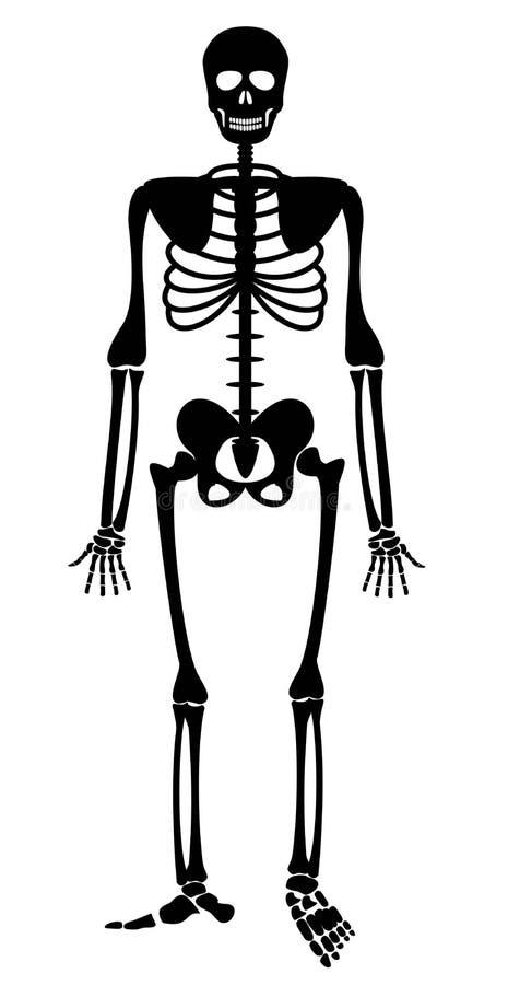 Menselijk skelet E stock illustratie