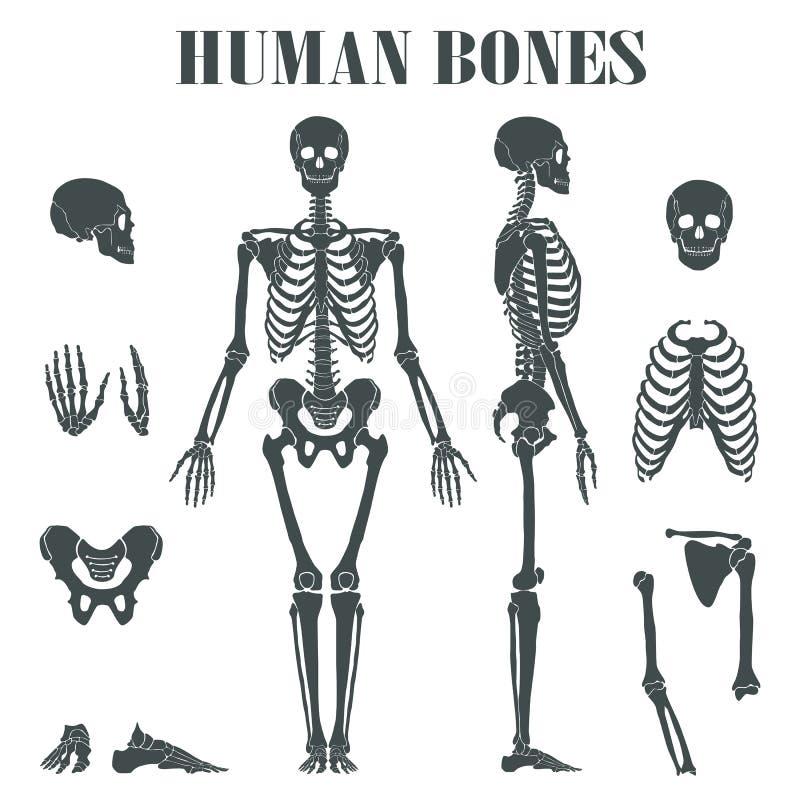 Menselijk skelet met verschillende delen vector illustratie