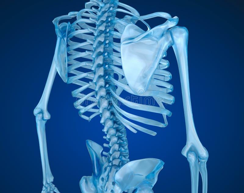Menselijk skelet, stekel en schouderblad Medisch nauwkeurige illustratie vector illustratie