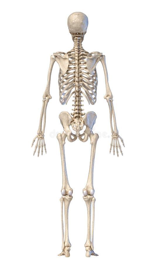 Menselijk skelet, volledig beeld, achteraanzicht stock illustratie