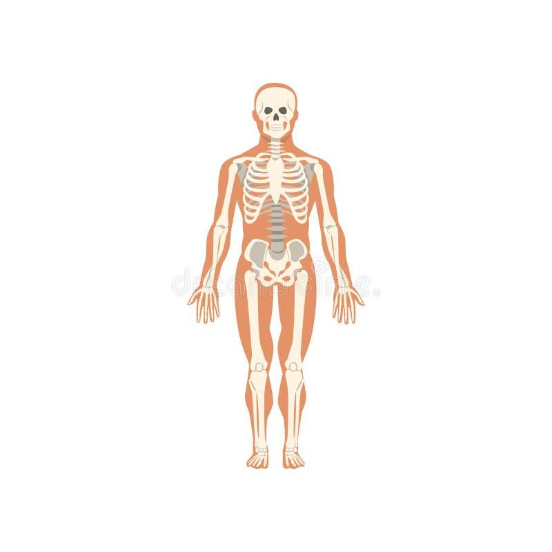 Menselijk skeletachtig systeem, anatomie van menselijk lichaams vectorillustratie op een witte achtergrond stock illustratie