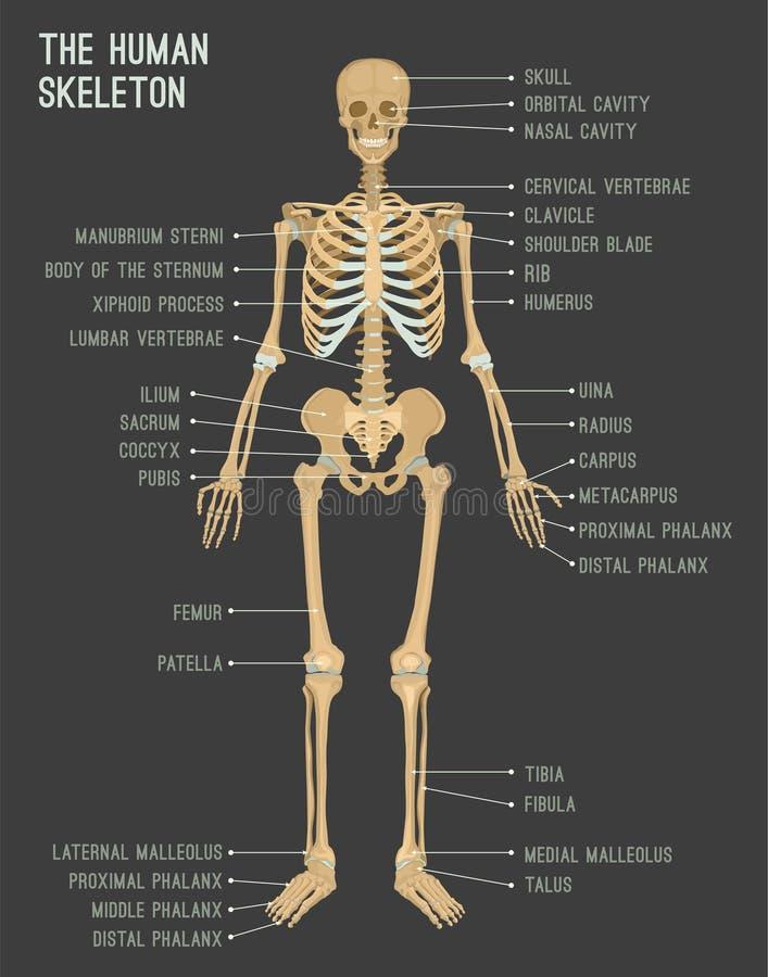 Menselijk skeletbeeld stock illustratie