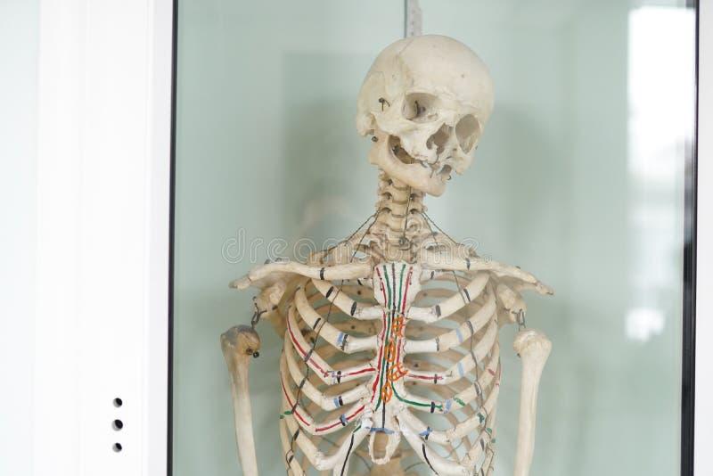 Menselijk skeletcubit anatomisch model Medisch kliniekconcept Selectieve nadruk royalty-vrije stock foto