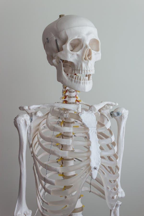 Menselijk skeletmodel stock foto's