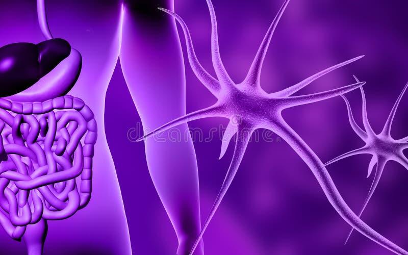 Menselijk spijsverteringssysteem en neuron royalty-vrije illustratie