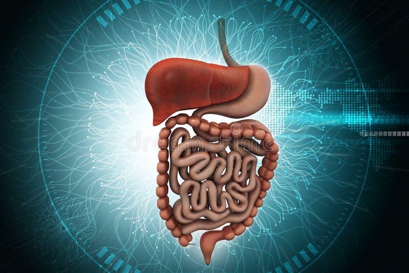 Menselijk spijsverteringssysteem met stock illustratie