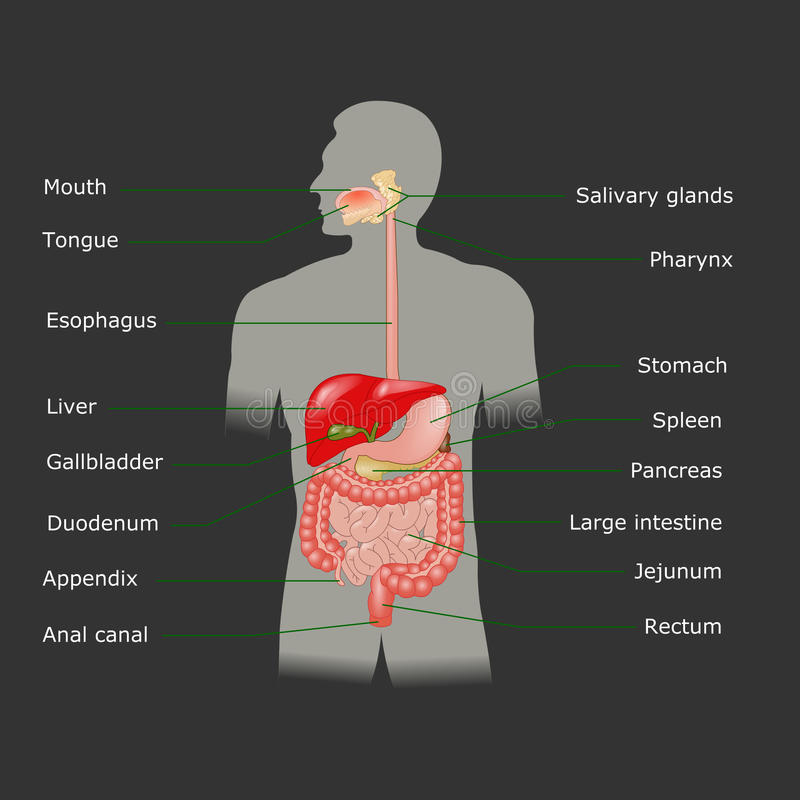 Menselijk spijsverteringssysteem in vector vector illustratie