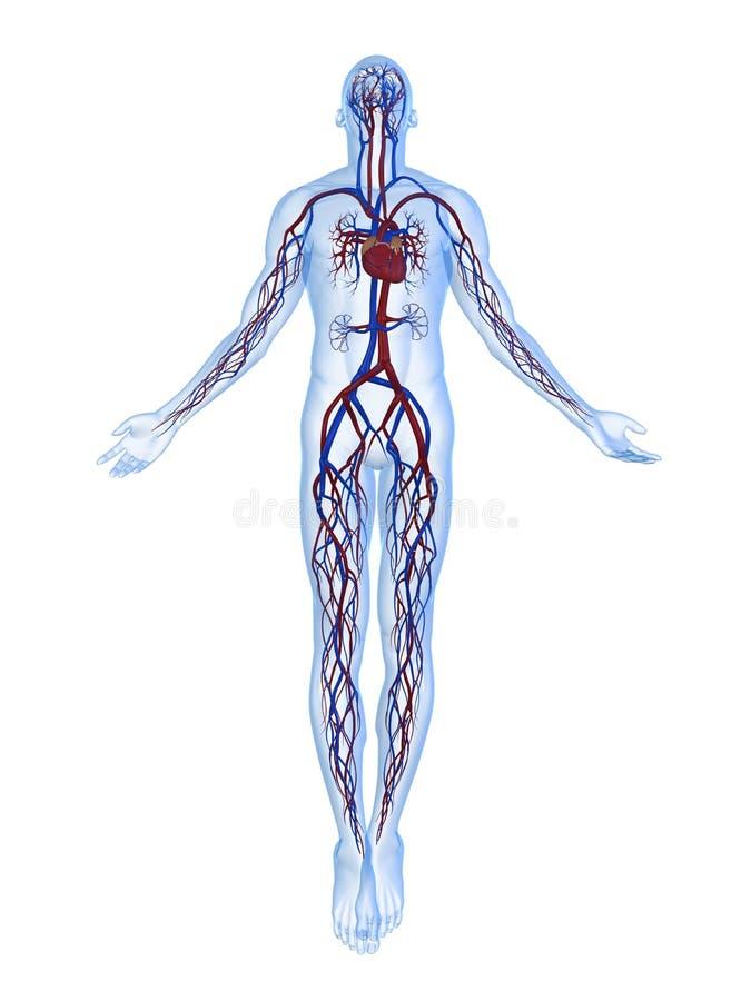 Menselijk vasculair systeem vector illustratie