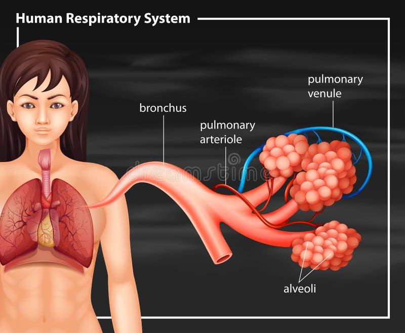 Menselijk vrouwelijk ademhalingssysteem op een zwarte achtergrond royalty-vrije illustratie
