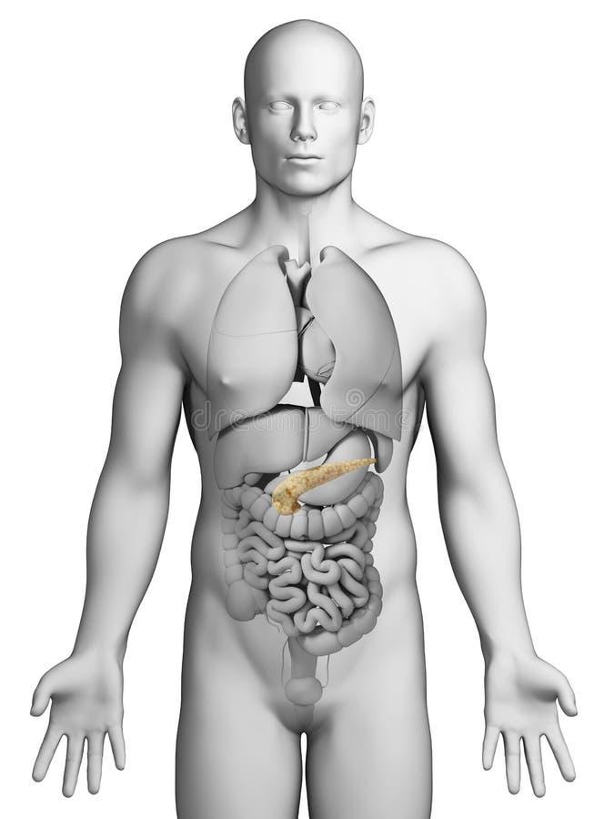 Menselijke alvleesklier vector illustratie