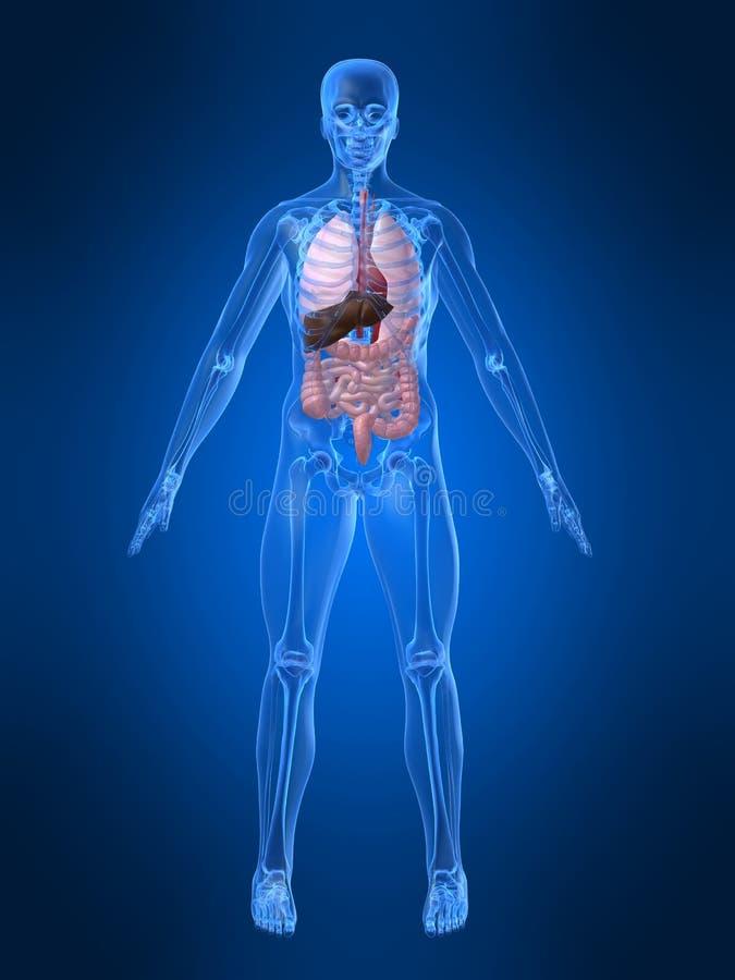 Menselijke anatomie vector illustratie