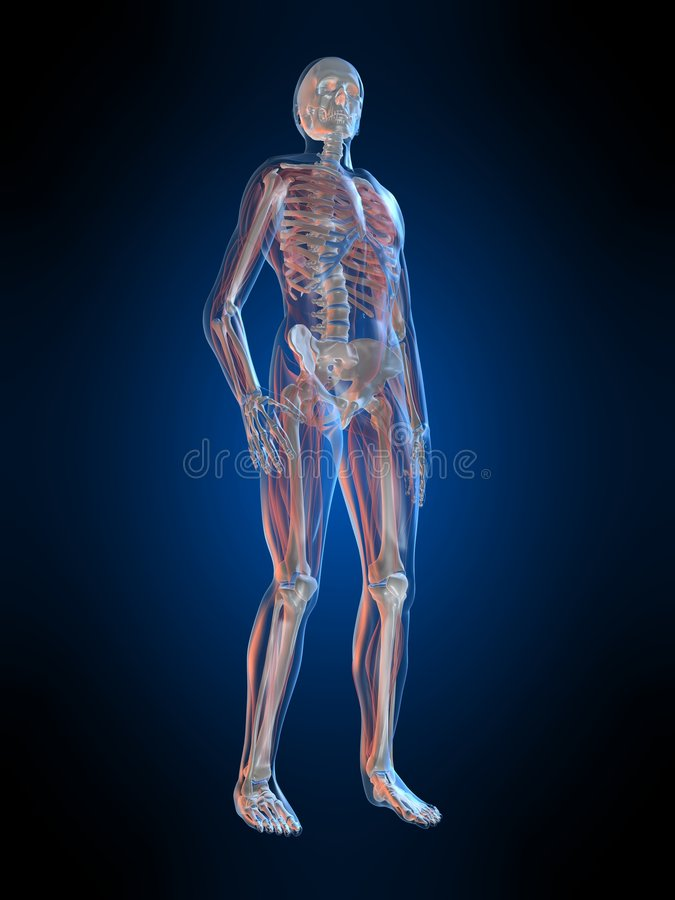 Menselijke anatomie royalty-vrije illustratie