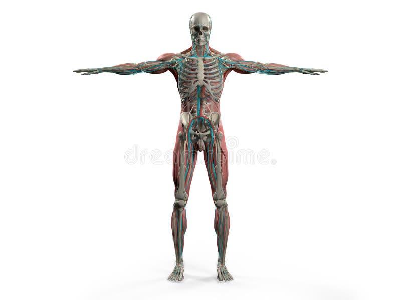 Menselijke anatomie die voor volledig lichaam, hoofd, schouders en torso tonen royalty-vrije illustratie