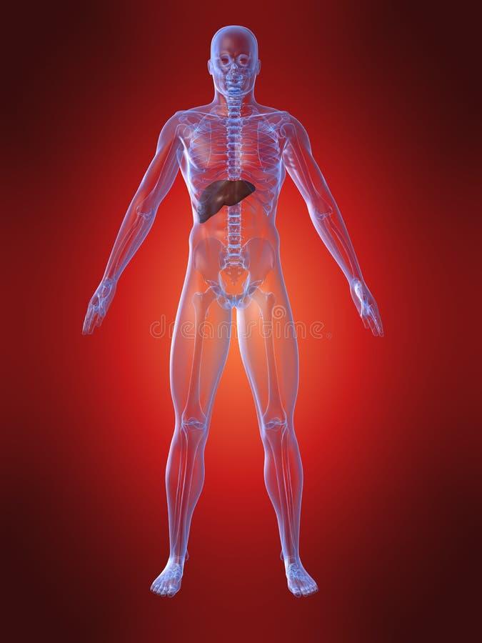 Menselijke anatomie met lever royalty-vrije illustratie