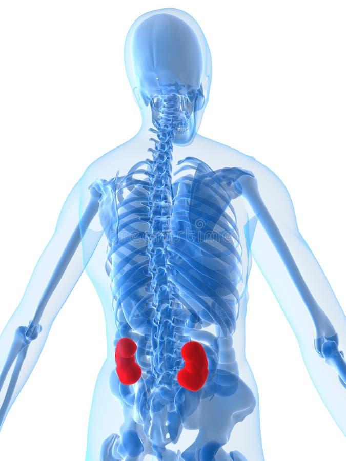 Menselijke anatomie met nieren royalty-vrije illustratie