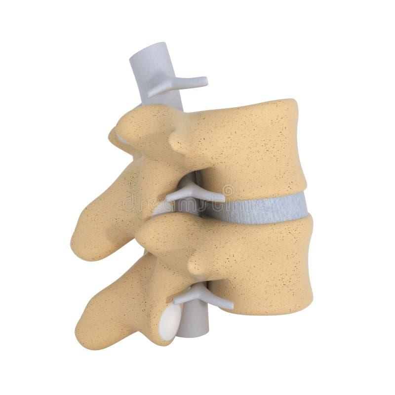 Menselijke Anatomie - Ruggewervel vector illustratie