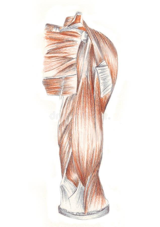 Menselijke anatomie, spieren van de achterschouder stock illustratie