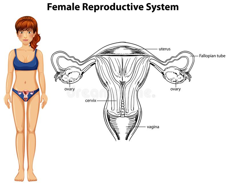 Menselijke Anatomie van Vrouwelijk Reproductief Systeem vector illustratie