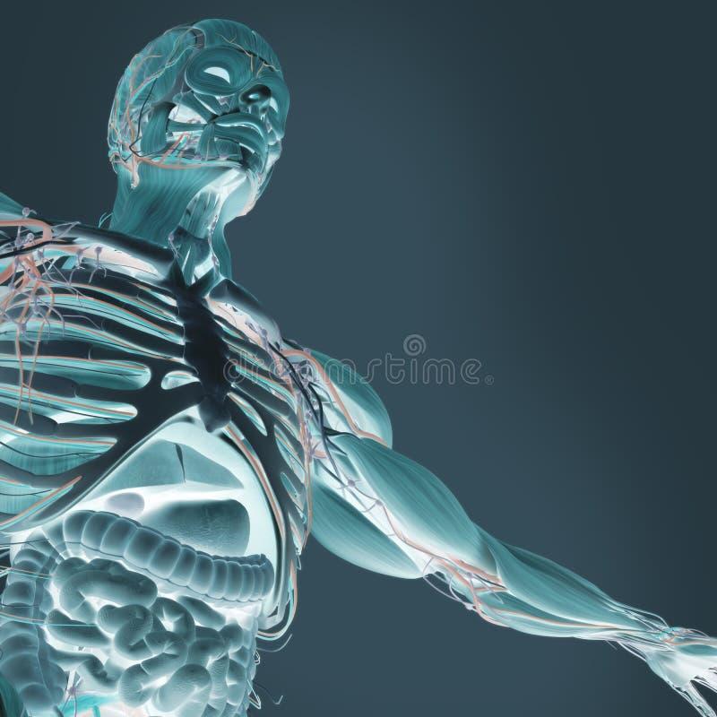 Menselijke anatomie xray-als mening van buik en darmen royalty-vrije stock foto