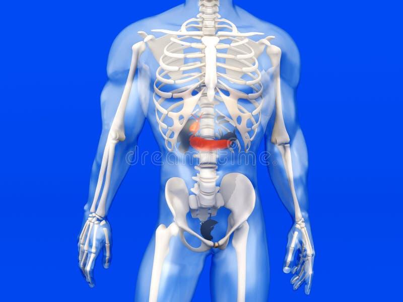 Menselijke Anatomievisualisatie - Gal in semi transparant vector illustratie