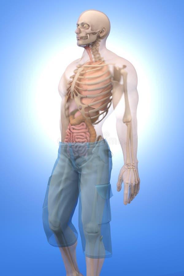 Menselijke Anatomievisualisatie - Interne Organen stock illustratie