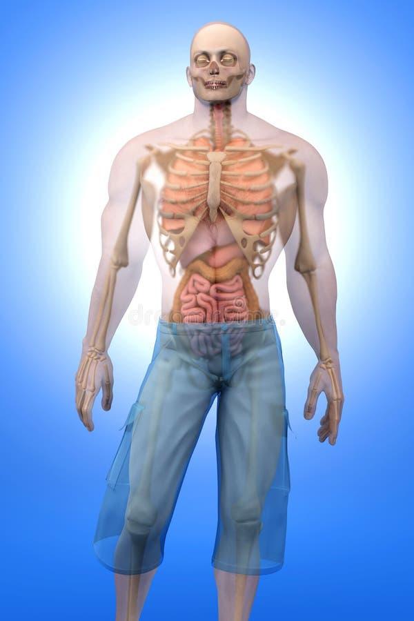 Menselijke Anatomievisualisatie - Interne Organen vector illustratie