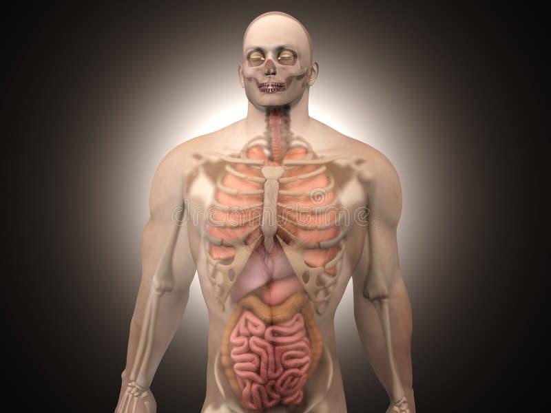 Menselijke Anatomievisualisatie - Interne Organen royalty-vrije illustratie