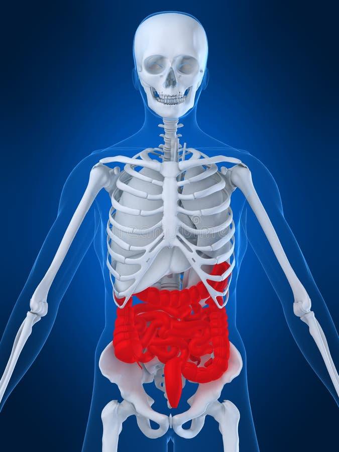 Menselijke darmen vector illustratie