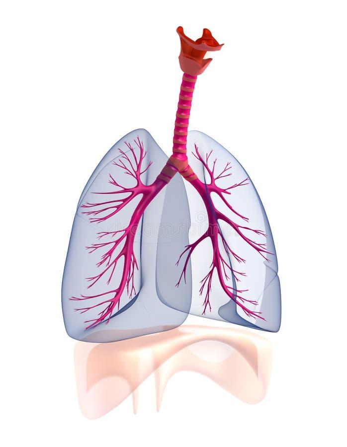 Menselijke de longenanatomie van Transtarent. vector illustratie