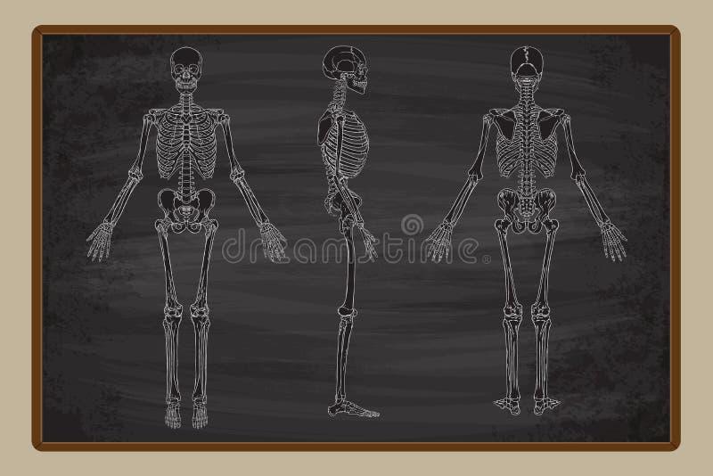 Menselijke de Tekeningsvector van het Skeletbord vector illustratie