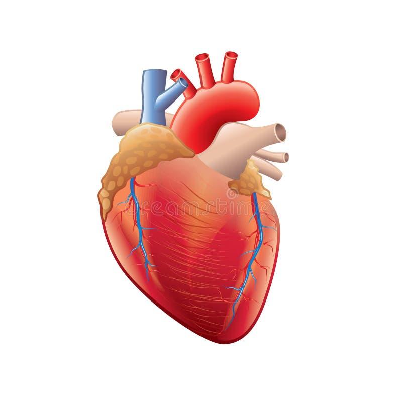 Menselijke die hartanatomie op witte vector wordt geïsoleerd stock illustratie