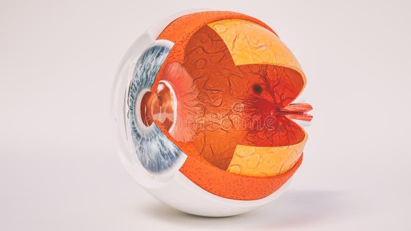 Menselijke die ooganatomie zeer in dwarsdoorsnede wordt gedetailleerd vector illustratie