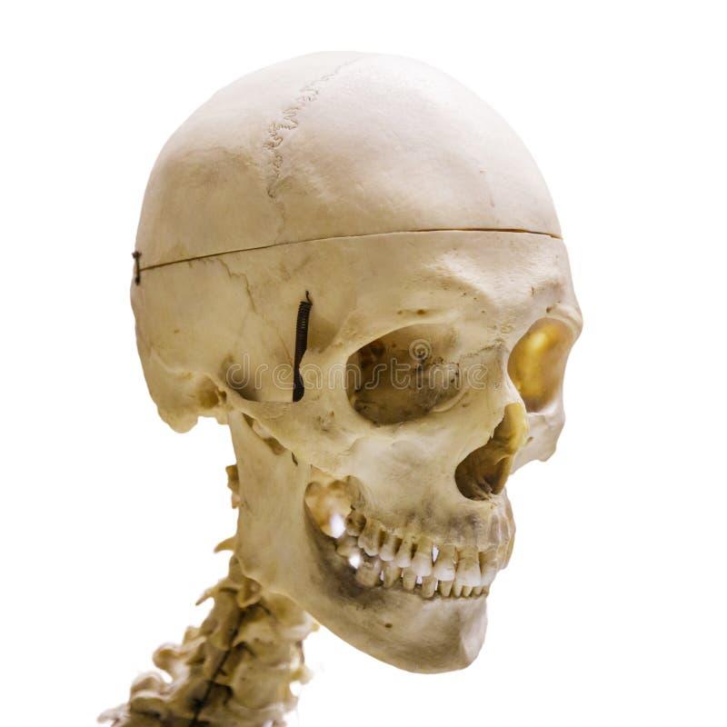 Menselijke die schedel, op witte achtergrond wordt geïsoleerd royalty-vrije stock afbeelding