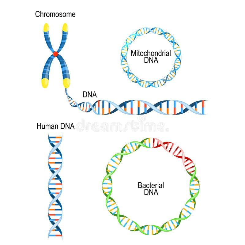 Menselijke DNA - dubbele schroef, cirkelprokaryote chromosoom Bacteriële DNA, en Mitochondrial DNA vector illustratie