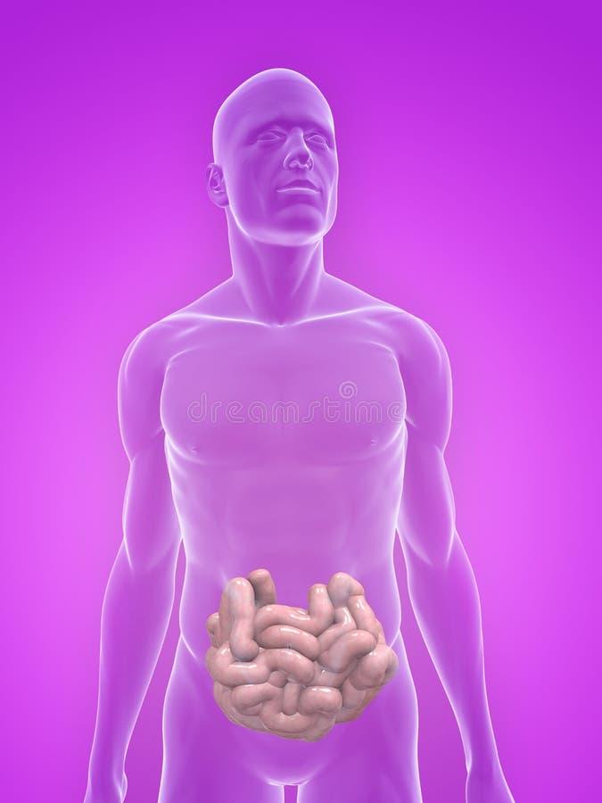Menselijke dunne darmen vector illustratie