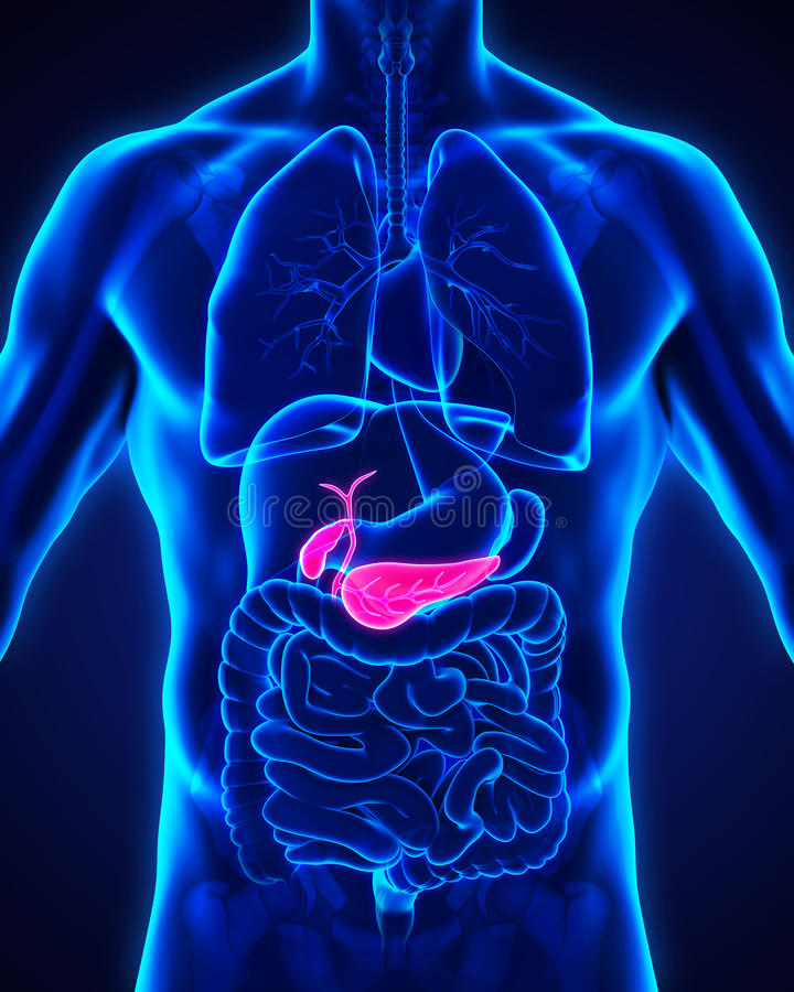 Menselijke Gallbladder en Alvleesklieranatomie stock illustratie