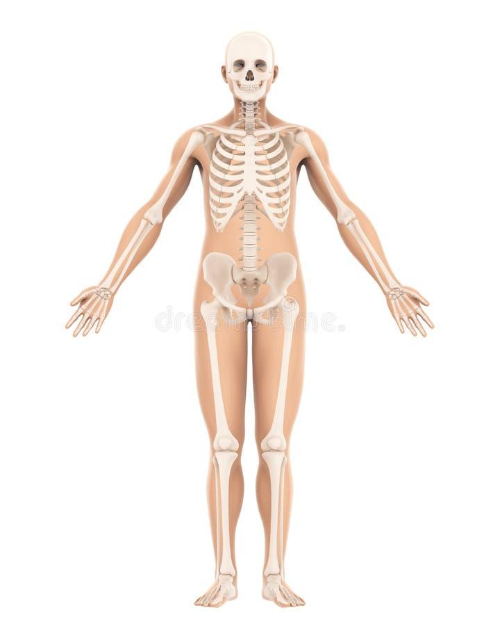 Menselijke Geïsoleerde Skeletanatomie stock illustratie